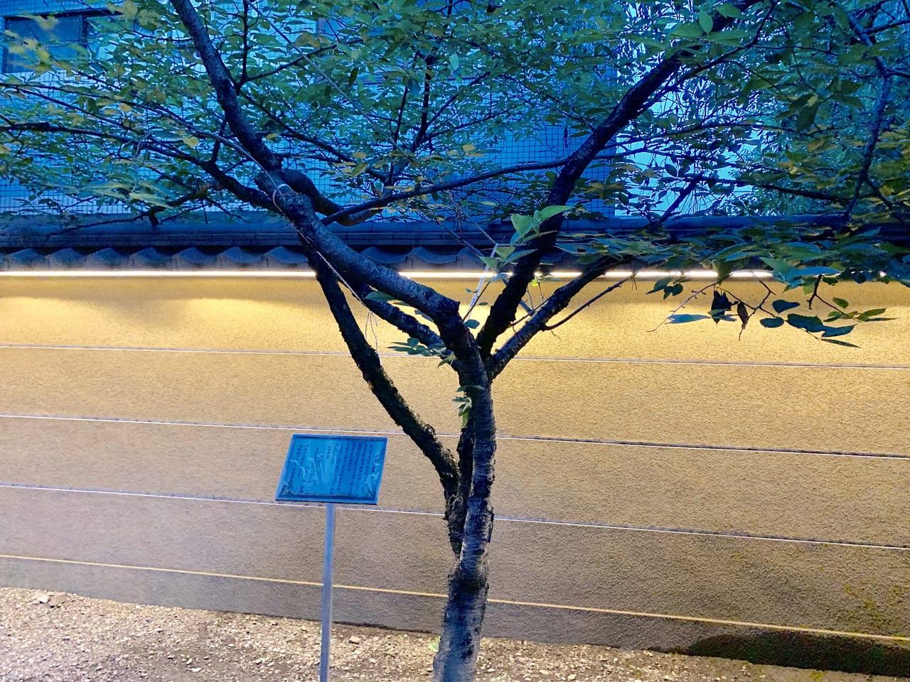 新井薬師雅子さまの桜