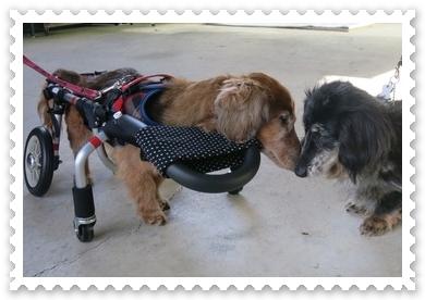 車いすの犬